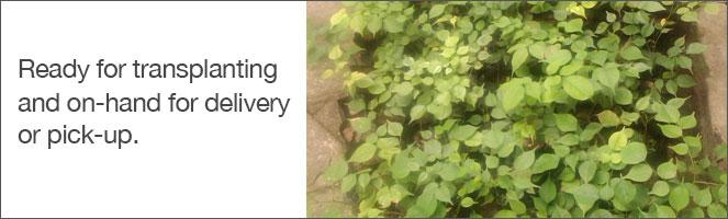 Narra-Seedlings